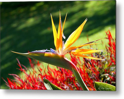 Flower Metal Print featuring the photograph Bird Of Paradise by Diana Haronis