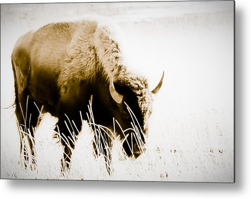 Buffalo Metal Print featuring the photograph Bison Winter by Paul Roach