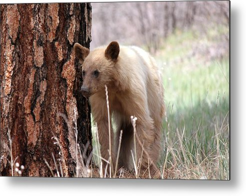 Bear Metal Print featuring the photograph Blonde Bear by Amara Roberts