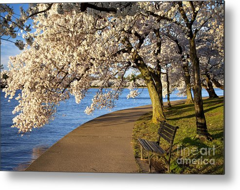 Cherry Blossom Metal Print featuring the photograph Blossoming Cherry Trees by Brian Jannsen