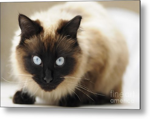 England Metal Print featuring the photograph Blue Eyes by Andrew Michael