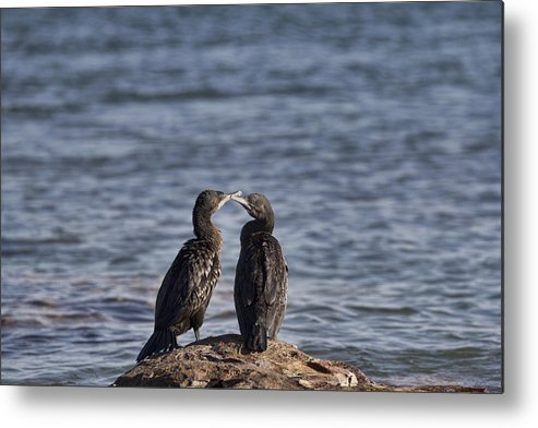 Cormorants Metal Print featuring the photograph Blue Eyes Kissing by Douglas Barnard