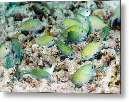 Bunaken National Park Metal Print featuring the photograph Blue-green Chromis On A Reef by Georgette Douwma