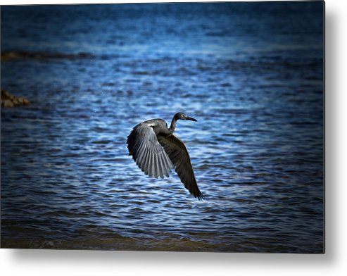 Dark Reef Egret Metal Print featuring the photograph Blue Waters by Douglas Barnard