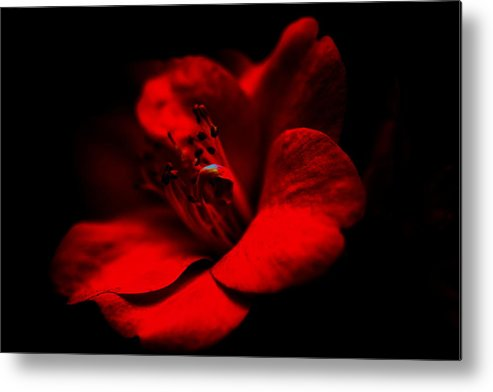 Camellia Metal Print featuring the photograph Born Of Passion... by Paul Riemer