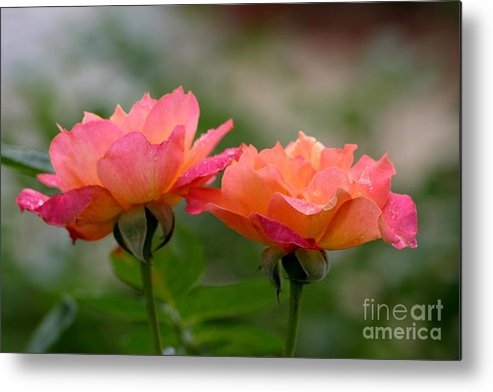 Roses Metal Print featuring the photograph Broadway by Living Color Photography Lorraine Lynch