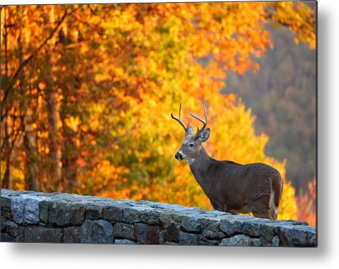 Metro Metal Print featuring the photograph Buck In The Fall 06 by Metro DC Photography