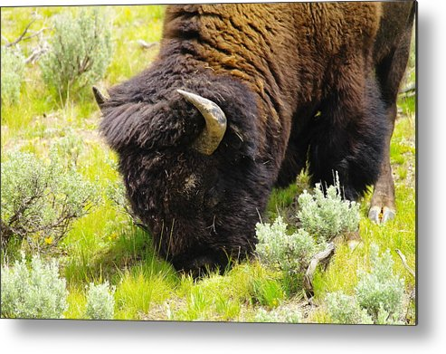 Bison Metal Print featuring the photograph Buffalo Grazing by Jeff Swan