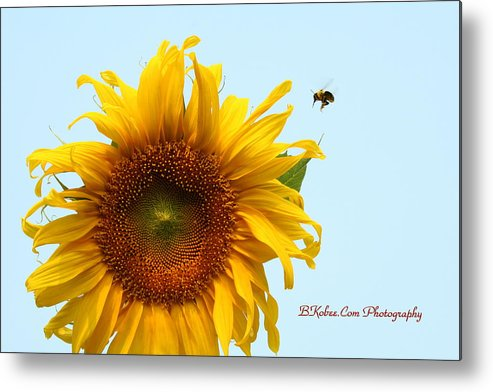 Bumble Bee Metal Print featuring the photograph Bumble Bees Love Sunflowers by Beverly Kobee