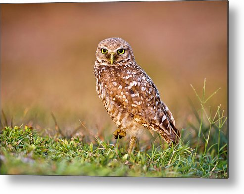 Horizontal Metal Print featuring the photograph Burrowing Owl by TNWA Photography