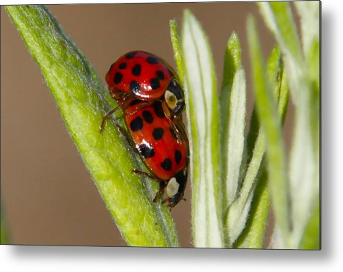 Ladybug Prints Metal Print featuring the photograph Busy Bugs by Paul Marto