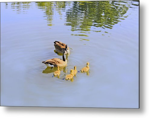 Canadian Metal Print featuring the photograph Canadian Goose Love by Barbara Dean