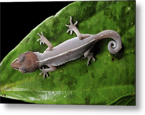 Cat Gecko Metal Print featuring the photograph Cat Gecko by Robbie Shone