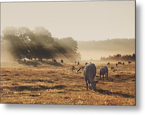 Horizontal Metal Print featuring the photograph Cattle Grazing On Misty Morning by Jutta Bauer