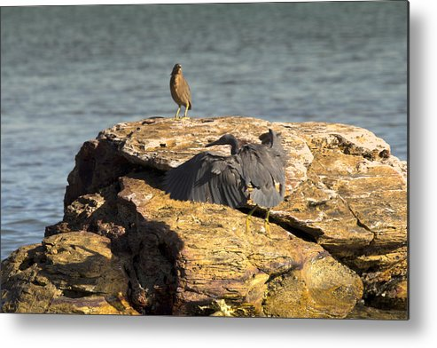 Dark Reef Egret Metal Print featuring the photograph Challenge For The Throne by Douglas Barnard