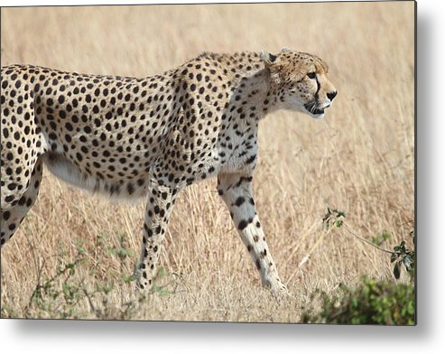 Cheetah Metal Print featuring the photograph Cheetah Stepping Out by Carole-Anne Fooks
