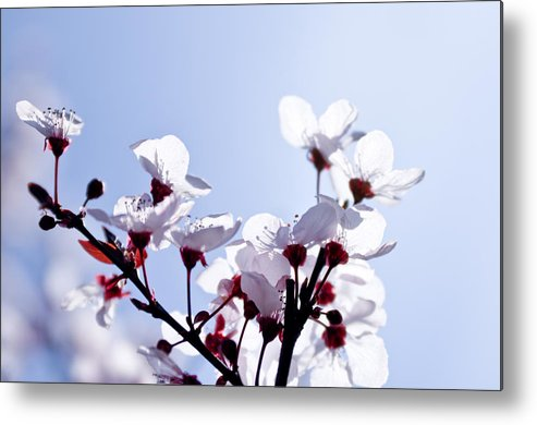 Horizontal Metal Print featuring the photograph Cherry Blossoms by Photo by Kevin Frates