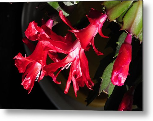 Christmas Cactus Metal Print featuring the photograph Christmas Cactus Trio by Wanda Brandon