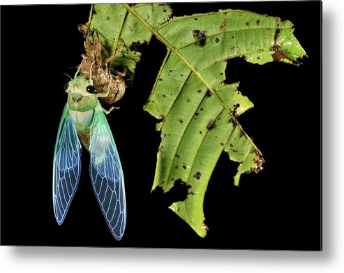 Animal Metal Print featuring the photograph Cicada Emerging From Chrysalis by Robbie Shone