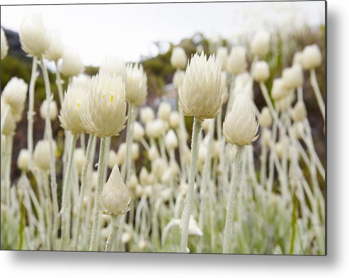 Horizontal Metal Print featuring the photograph Close Up Of Spiked Flowers by Sidsel Clement