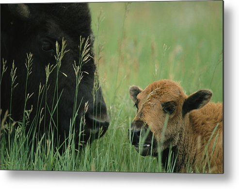 Animals Metal Print featuring the photograph Close View Of An American Bison by Annie Griffiths