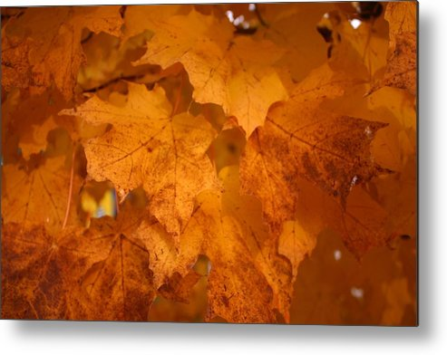 Colorful Metal Print featuring the photograph Colorful Maple Leaves In Fall by Vincent Duis