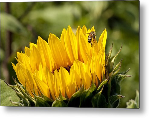 Sunflower Metal Print featuring the photograph Coming Out by Lee Fortier