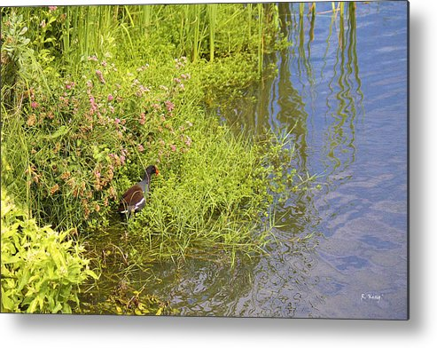 Roena King Metal Print featuring the photograph Common Moorhen At The Waters Edge by Roena King