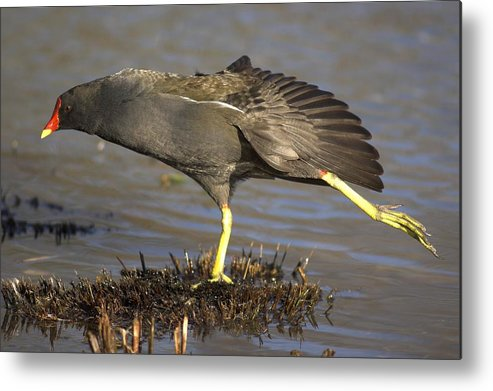 Gallinula Chloropus Metal Print featuring the photograph Common Moorhen by Colin Varndell
