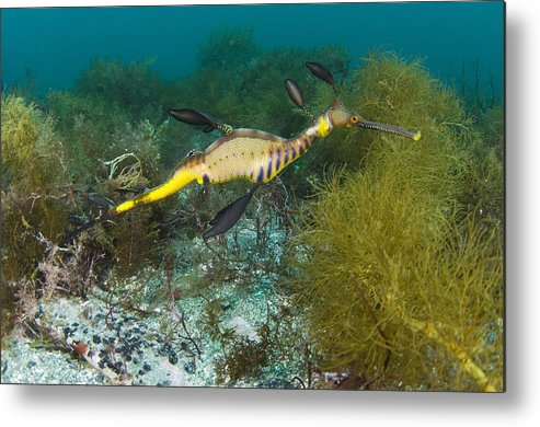Common Sea Dragon Metal Print featuring the photograph Common Sea Dragon by Matthew Oldfield