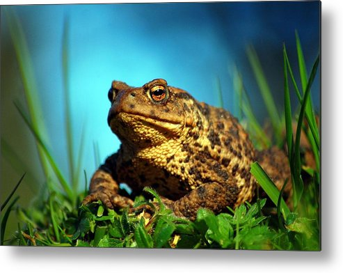 Common Toad Metal Print featuring the photograph Common Toad by Gavin Macrae