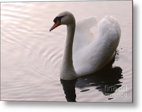 Swan Metal Print featuring the photograph Completely Elegant by Bob Christopher