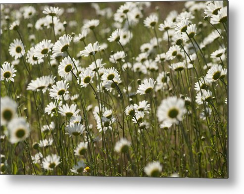 Leucanthemum Vulgare Metal Print featuring the photograph Daisy Fields Forever - Alabama Wildflowers by Kathy Clark