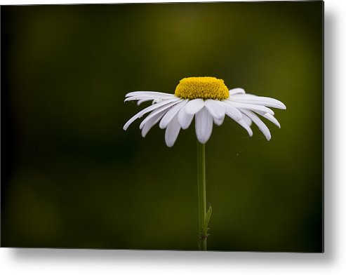 Leucanthemum Metal Print featuring the photograph Defiant Daisy by Clare Bambers