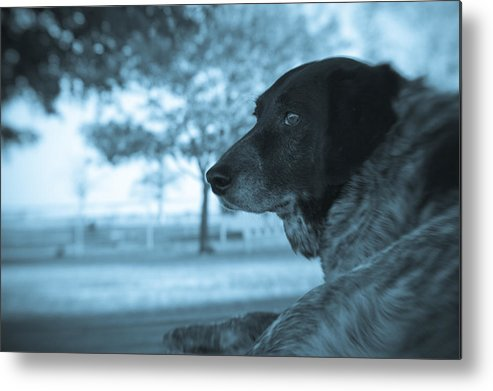Black & White Metal Print featuring the photograph Dog's Point Of View by Paul Roach