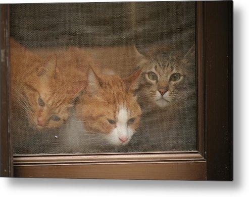 Horizontal Metal Print featuring the photograph Domestic Cat by Akimasa Harada