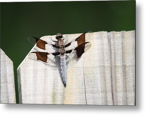 Dragon Fly Metal Print featuring the photograph Dragon Fly by Taylor Todd