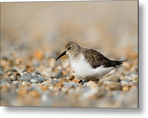 Horizontal Metal Print featuring the photograph Dunlin (calidris Alpina) by Andrew Sproule