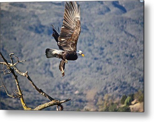 Birds Metal Print featuring the photograph Eagle's Wings by Diana Hatcher