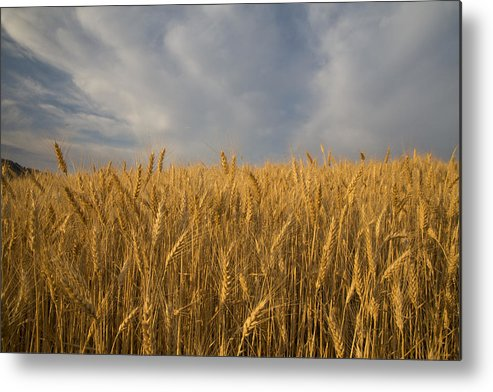 Horizontal Metal Print featuring the photograph Early Morning Landscape Of Wheat In Palouse by Darrell Gulin