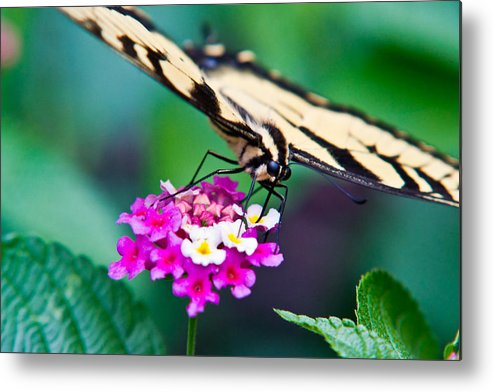 Eastern Metal Print featuring the photograph Eastern Tiger Swallowtail 9 by Douglas Barnett