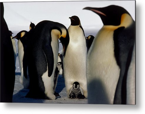 Emperor Penguins Metal Print featuring the photograph Emperor Penguins Sheltering Chicks by Doug Allan
