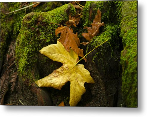 Fall Metal Print featuring the photograph Fallen by Penny Ryan