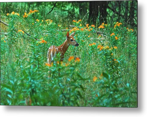 Daybreak Woods Metal Print featuring the photograph Fawn In A Field Of Milkweed by Michael Peychich