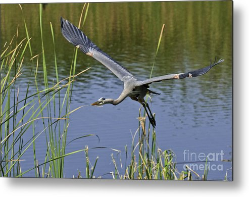 Great Blue Herring Metal Print featuring the photograph Final Approach by David Waldrop