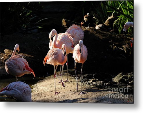 Flamingo Metal Print featuring the photograph Flamingo by Marc Bittan