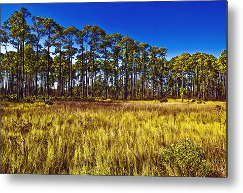 Art Metal Print featuring the photograph Florida Pine 3 by Skip Nall