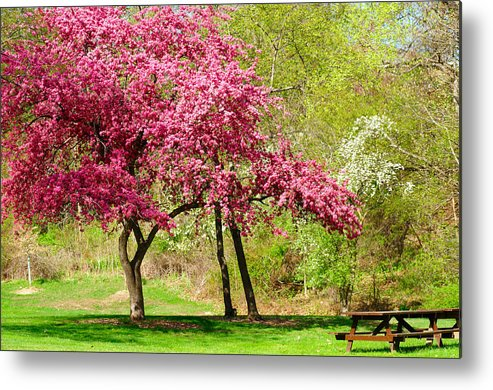 Tree Metal Print featuring the photograph Flowering Tree by Kenneth Sponsler