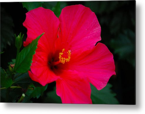 Flower Metal Print featuring the photograph Full Bloom by Debbie Cook
