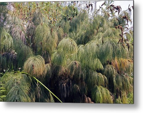 Giant Horsetail Metal Print featuring the photograph Giant Horsetail (hippuris Sp.) by Dr Keith Wheeler